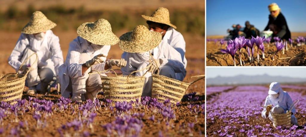 Câu chuyện Saffron Vua: Cánh đồng trồng và thu hoạch saffron nhụy hoa nghệ tây